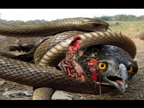show me pictures of a king cobra snake