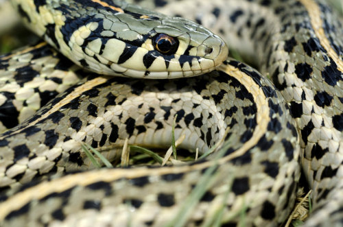images of king snakes in louisiana