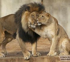 cartoon pics of lion and lioness