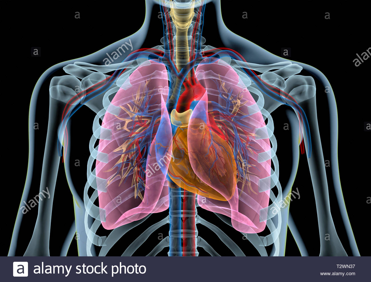 photo of lungs and heart