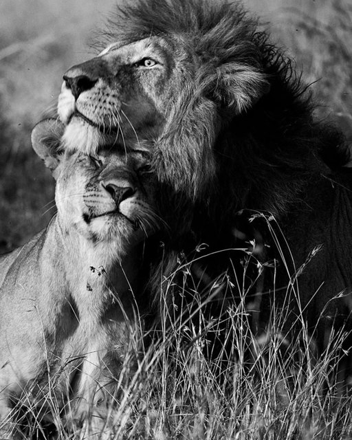 pic of lion and lioness