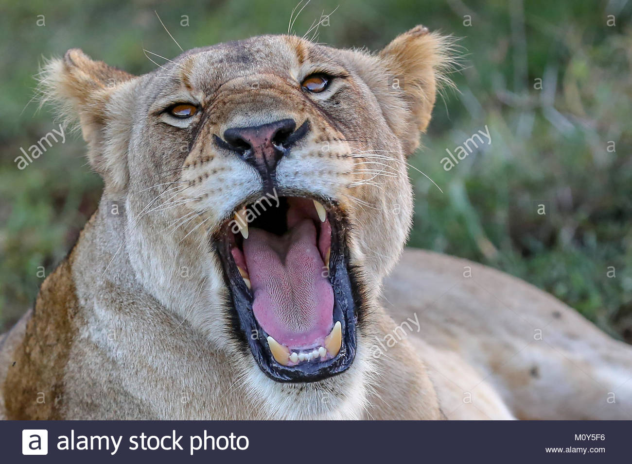 picture of lioness roaring at lion