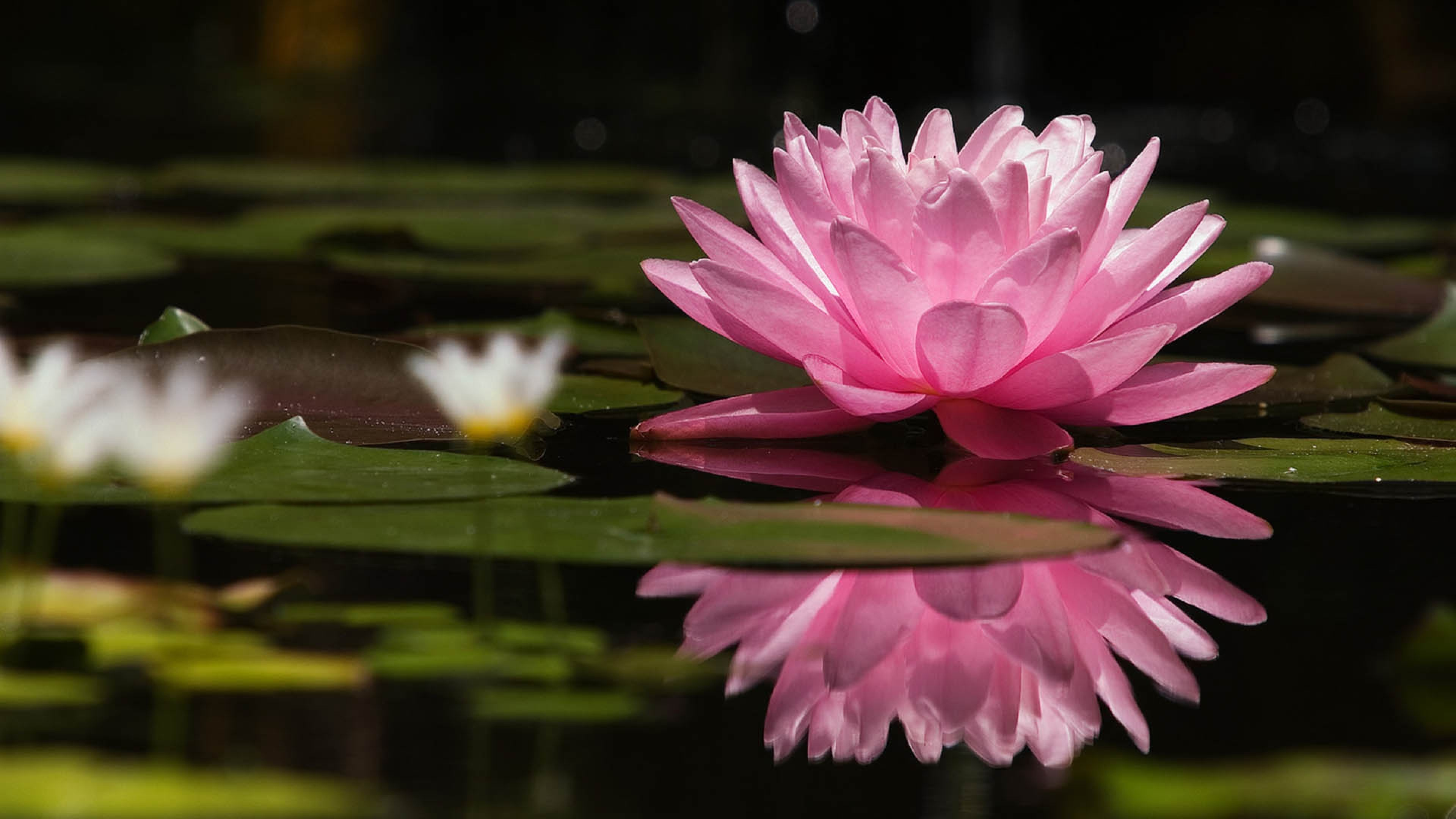 hd pic of lotus flower